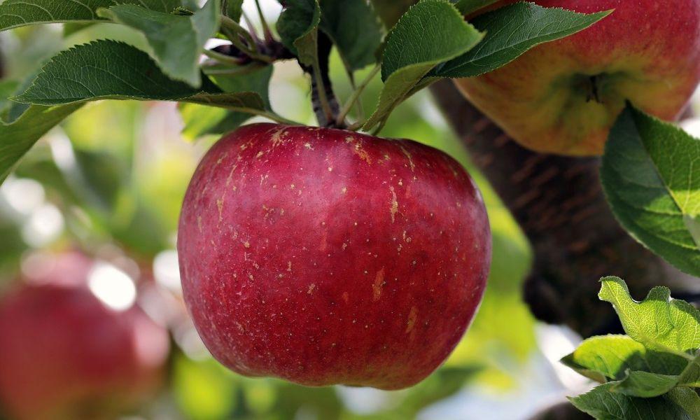kuva omenasta omenaviinietikka valmistus